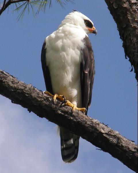 Black-and-white Hawk-Eagle