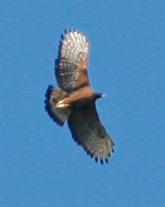 Black-and-chestnut Eagle