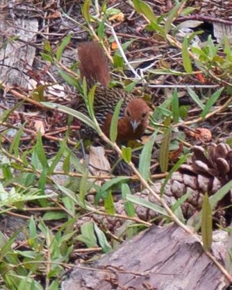 Madagascar Flufftail