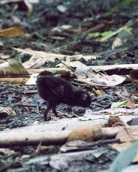 Red-necked Crake