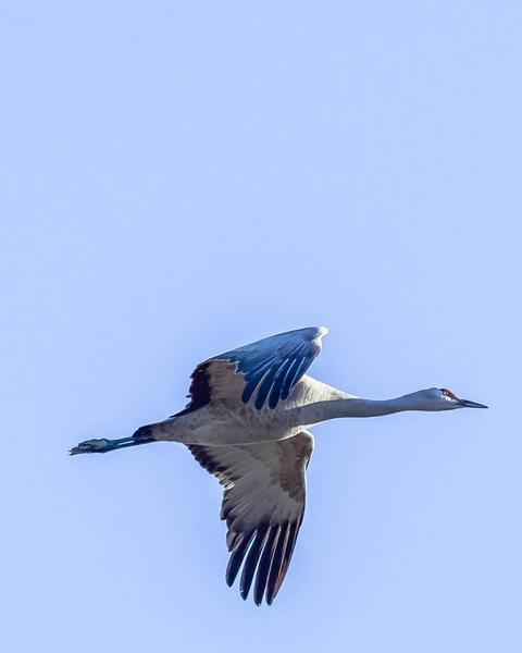 Sandhill Crane (canadensis)