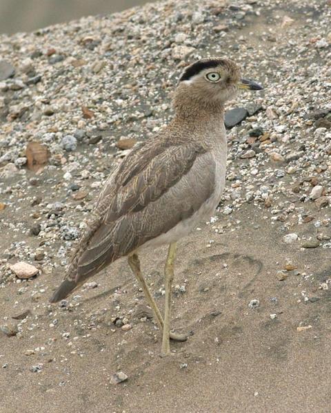 Peruvian Thick-knee