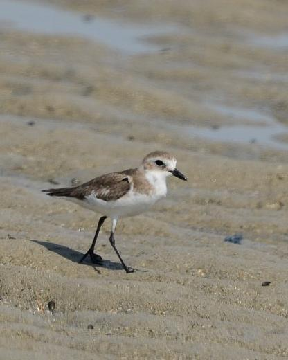 Lesser Sand-Plover