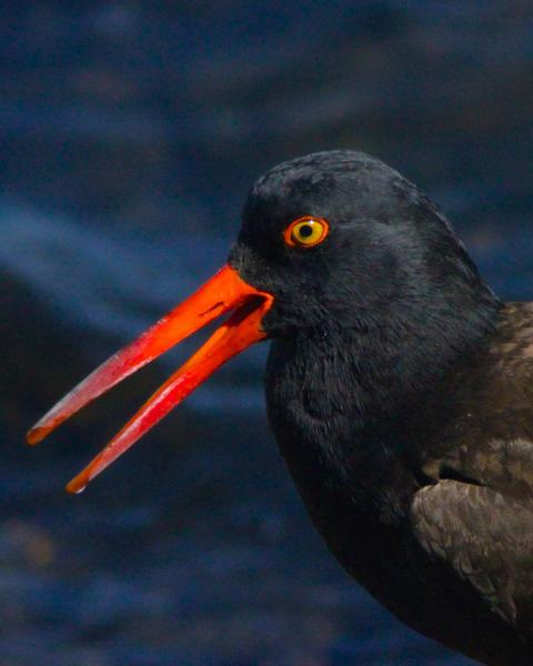 Black Oystercatcher