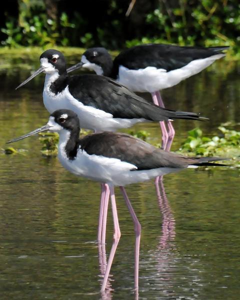 Black-necked Stilt (Hawaiian)