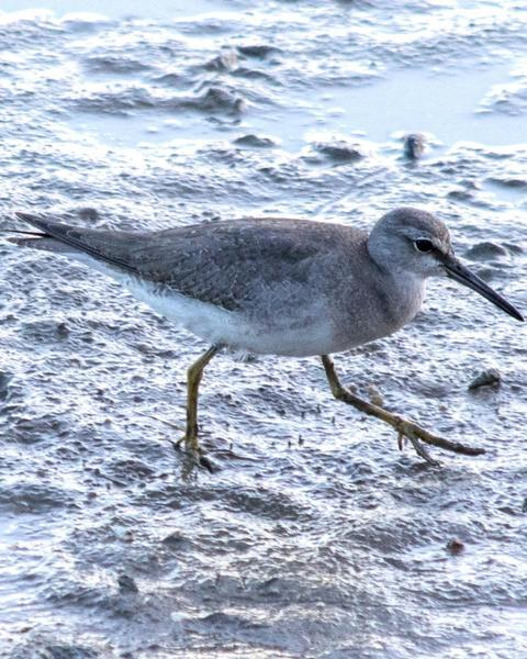 Gray-tailed Tattler