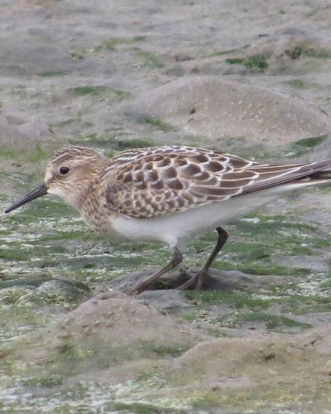 Baird's Sandpiper