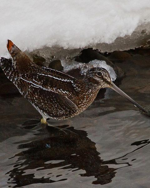 Solitary Snipe