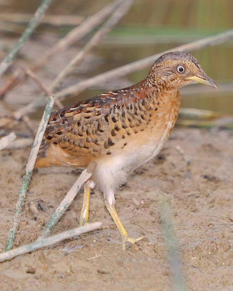 Red-backed Buttonquail