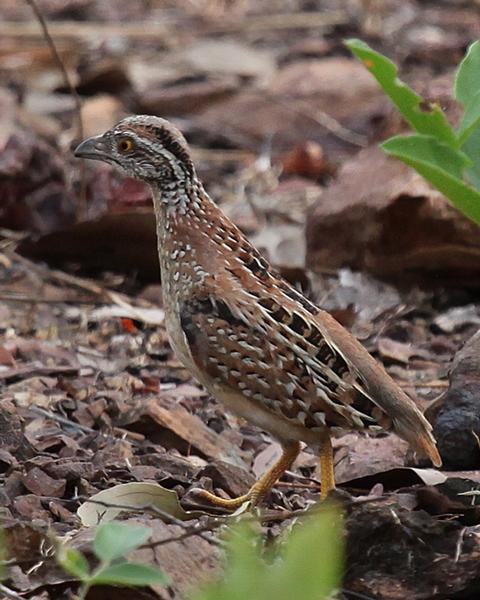 Chestnut-backed Buttonquail