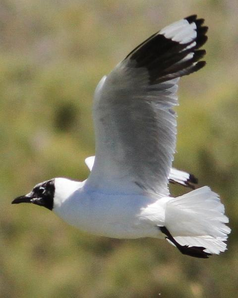 Andean Gull