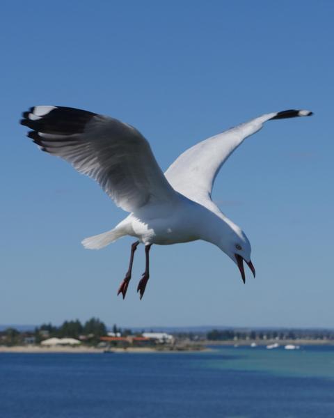 Silver Gull (Silver)