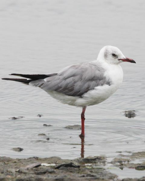 Gray-hooded Gull