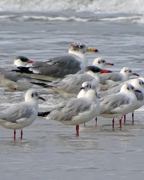 Pallas's Gull