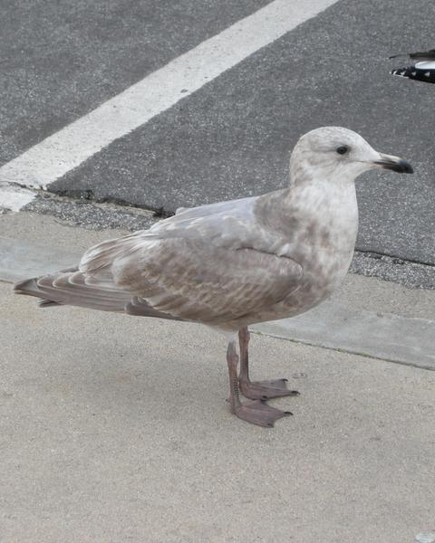 Western x Glaucous-winged Gull (hybrid)