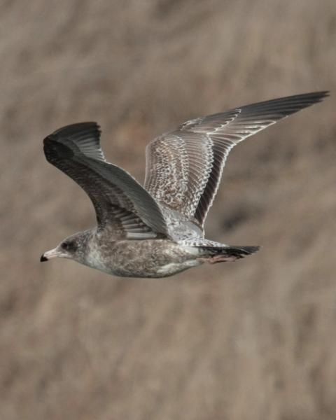California Gull