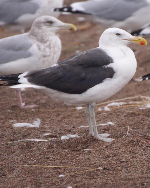 Herring x Kelp Gull (hybrid)
