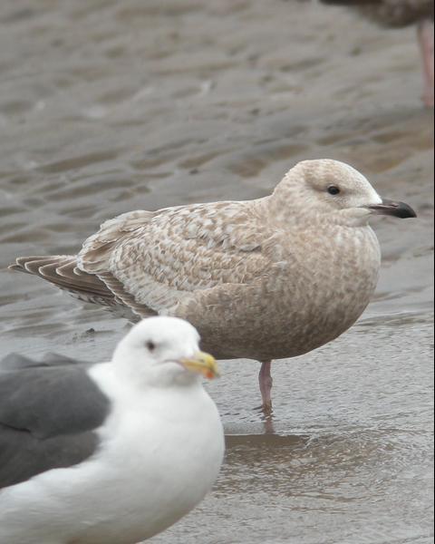 Iceland Gull (Thayer's)