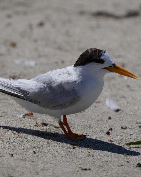Australian Fairy Tern