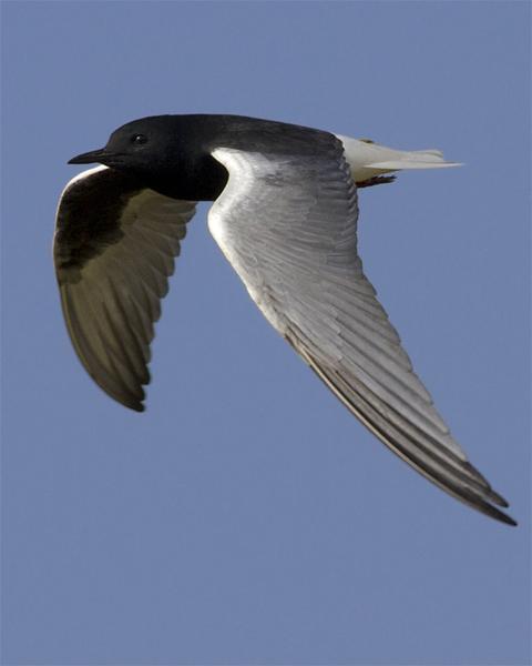 White-winged Tern