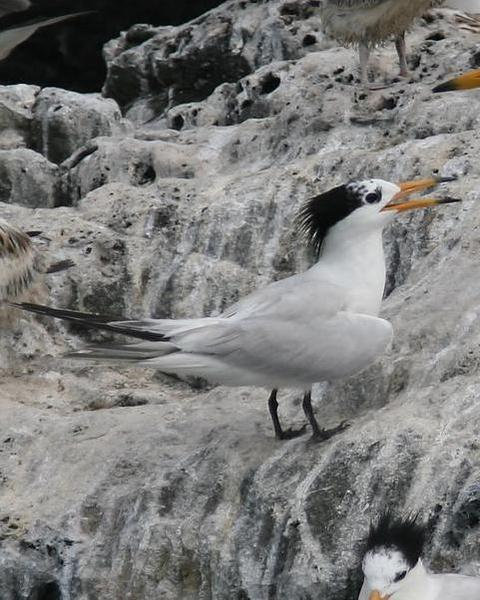 Chinese Crested Tern