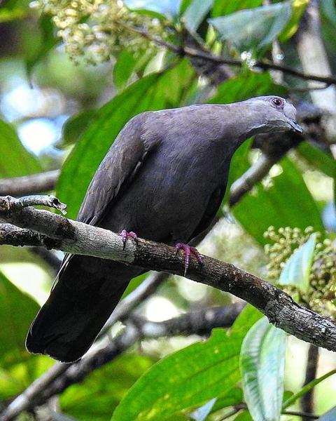 Dusky Pigeon