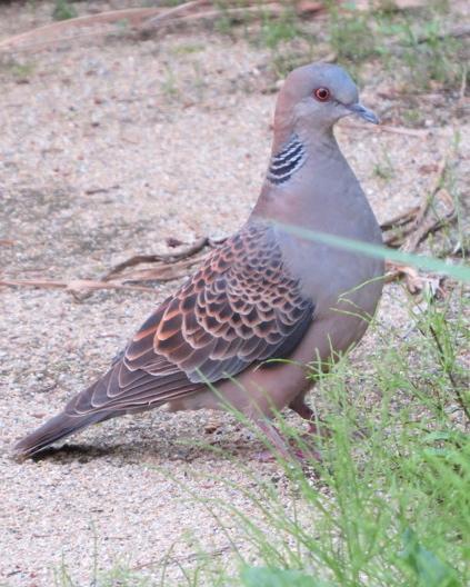 Oriental Turtle-Dove