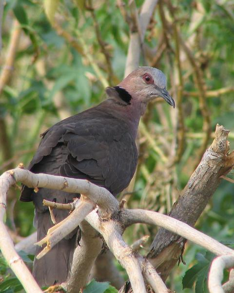 Red-eyed Dove