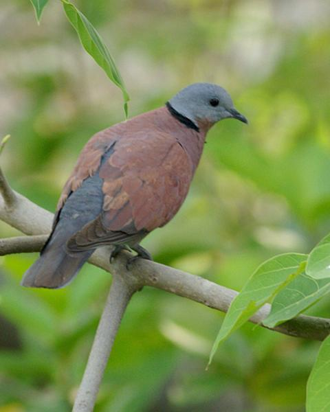 Red Collared-Dove