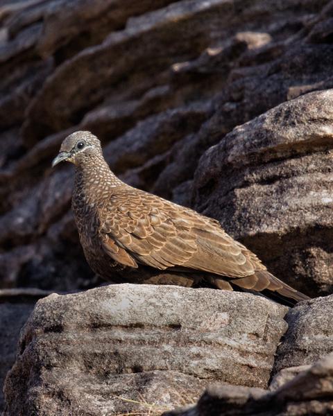 Chestnut-quilled Rock-Pigeon