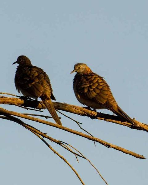Bar-shouldered Dove