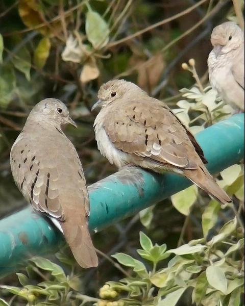 Ruddy Ground Dove