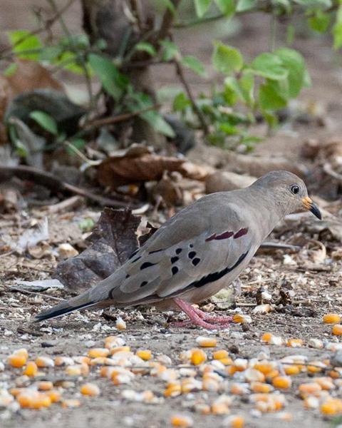 Croaking Ground-Dove