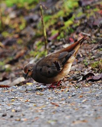 Maroon-chested Ground Dove