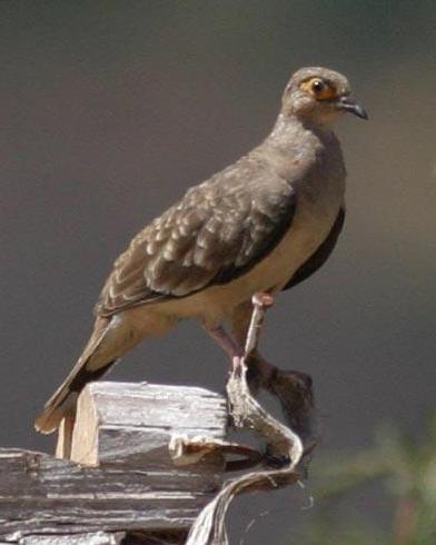 Bare-faced Ground Dove