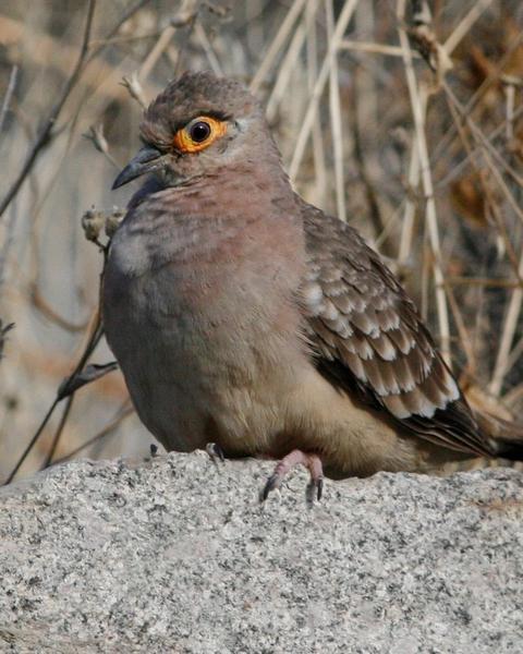 Bare-faced Ground-Dove