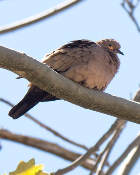 Black-winged Ground-Dove