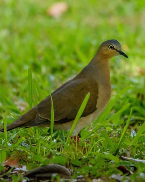 Gray-headed Dove