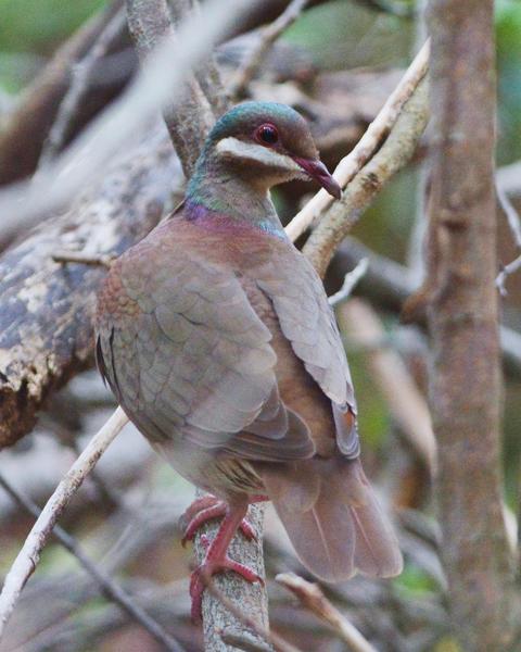 Key West Quail-Dove