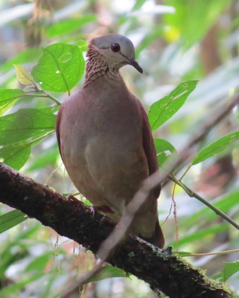 White-faced Quail-Dove