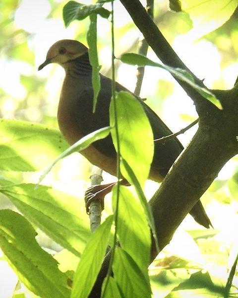 Lined Quail-Dove