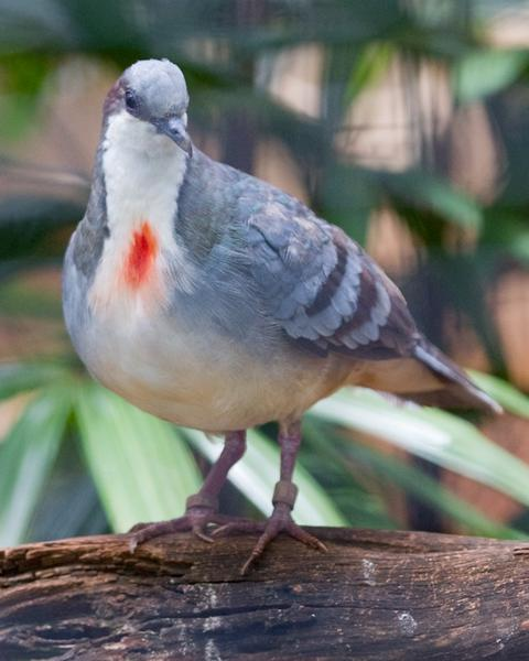 Luzon Bleeding-heart