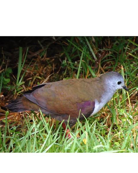 Bronze Ground Dove