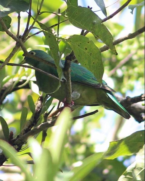 Black-naped Fruit-Dove