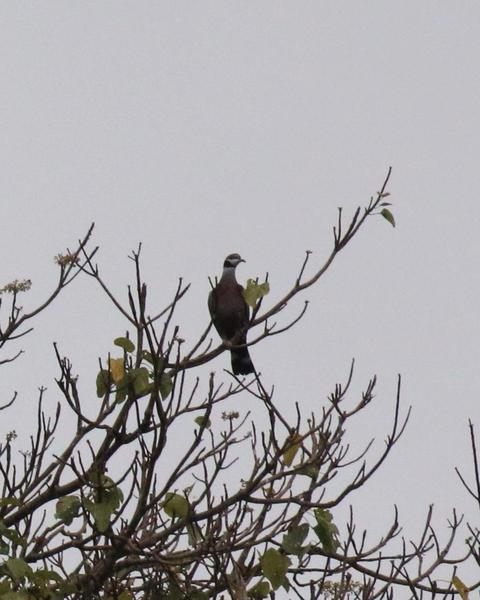 Collared Imperial-Pigeon