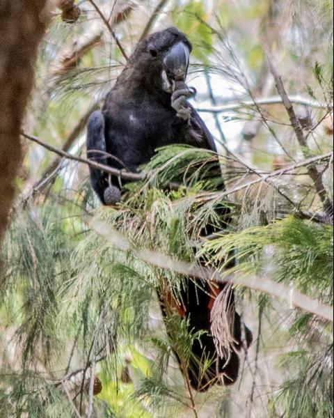 Glossy Black-Cockatoo
