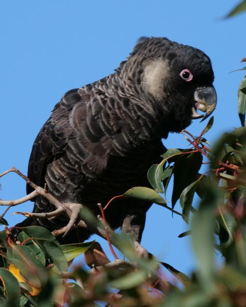 Baudin's Black-Cockatoo