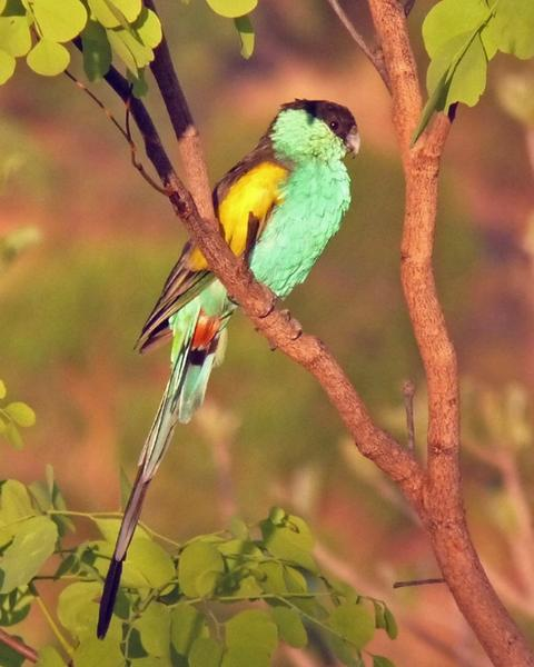 Hooded Parrot