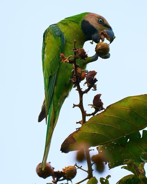 Long-tailed Parakeet