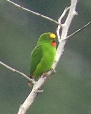Papuan Hanging-Parrot